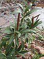 Nerium oleander kz01.jpg