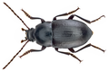 Nesotes congestus Wollaston, 1864 (11947577296).png