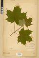 Neuchâtel Herbarium - Acer platanoides - NEU000026126.tiff