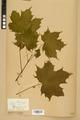Neuchâtel Herbarium - Acer platanoides - NEU000026137.tiff