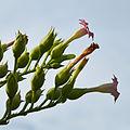 Nicotiana tabacum 'Havanna' -IMG 9344.jpg