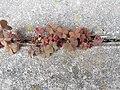 Noordwijk - Gehoornde klaverzuring (Oxalis corniculata) v3.jpg