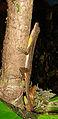 Norops oxylophus (or N. lionotus) (8771200778).jpg