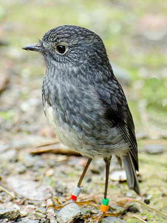 North Island robin - Image: North Island Robin edit