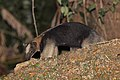 Northern tamandua (Tamandua mexicana).jpg