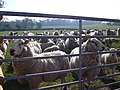 Nosy sheep - geograph.org.uk - 1805968.jpg