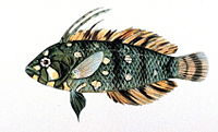 Novaculichthys taeniourus.jpg