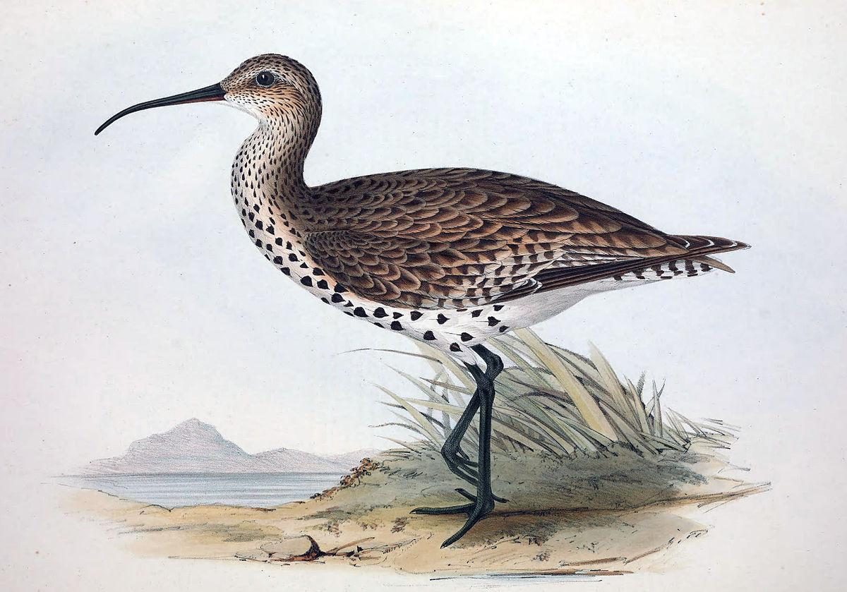 Numenius tenuirostris.jpg