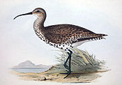 Numenius tenuirostris