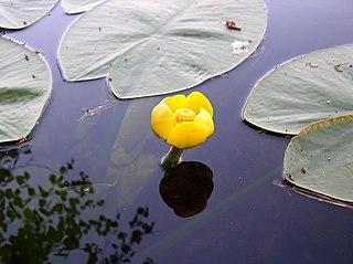 Leknica žltá (lat. Nuphar lutea)