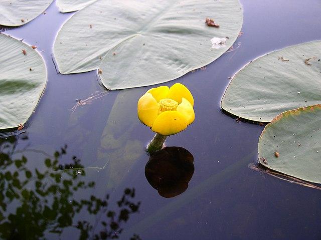 Leknica žltá
