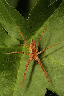 <i>Pisaurina mira</i> Species of spider