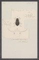 Nyctozoilus - Print - Iconographia Zoologica - Special Collections University of Amsterdam - UBAINV0274 027 39 0004.tif