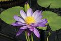 Nymphaea 'Kew's Stowaway Blues'-IMG 5499.jpg
