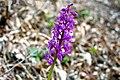ORCHIS MASCULA ssp Mascula. (2).jpg