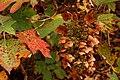 Oakleaf Hydrangea Hydrangea quercifolia Fall Colors 3008px.jpg