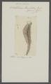 Octobothrium lanceolatum - - Print - Iconographia Zoologica - Special Collections University of Amsterdam - UBAINV0274 105 11 0005.tif