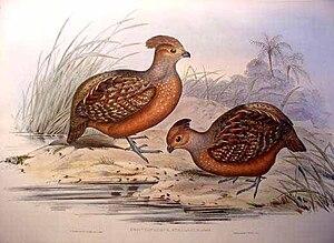 Starred wood quail - Image: Odontophorus stellatus