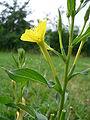 Oenothera biennis 20050825 942.jpg