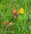Oenothera stricta in Bay of Plenty Region 01.jpg