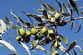 Olives (Tanche) (Drome 26000) Cl9.J Weber (7) (23184181731).jpg