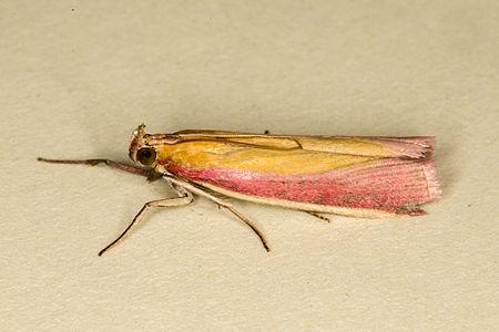 Oncocera semirubella, Lodz(Poland)01(js).jpg
