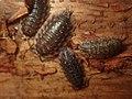 Oniscus asellus 107745331.jpg