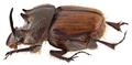 Onthophagus quadricuspis d`Orbigny, 1908 male (10362405836).png