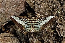 Open wing basking of Parthenos sylvia Cramer, 1775 – Clipper WLB DSC 4119.jpg