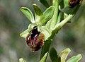 Ophrys sphegodes, Dover 1.JPG