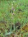 Ophrys vetula 001.JPG