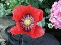 Opium poppy flower - Isle of Man.jpg