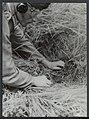 Opruimen van landmijnen bij Hoek van Holland. Duitse krijgsgevangen worden daarb, Bestanddeelnr 120-1023.jpg