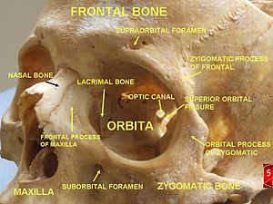 Lacrimal bone - Image: Orbital cavity