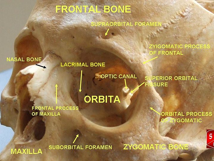 Lacrimal bone - eAnswers