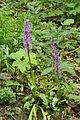 Orchideen am Westberg 001.jpg