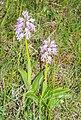Orchis militaris in Causse du Larzac (6).jpg