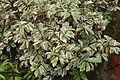 Ornamental plant 04219.JPG