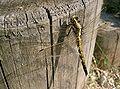 Orthetrum albistylum speciosum2.jpg