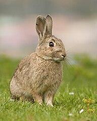 European rabbit (Oryctolagus cuniculus) in Austin's Ferry, Tasmania, Australia (Wikimedia, CC by-sa 3.0), by JJ Harrison