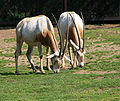 Oryx dammah Prag.jpg