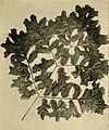 Osmunda regalis 'Cristata'.jpg