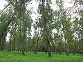 Ostafyevo Birch grove.JPG