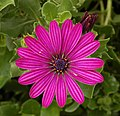 Osteospermum Tradewinds Deep Purple 1856px.jpg