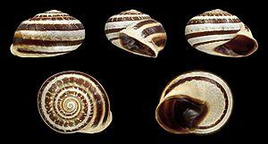 Otala lactea - Five views of a shell of Otala lactea