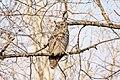 Owl (60810962).jpeg