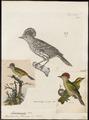 Oxyrhamphus flammiceps - 1700-1880 - Print - Iconographia Zoologica - Special Collections University of Amsterdam - UBA01 IZ19200209.tif