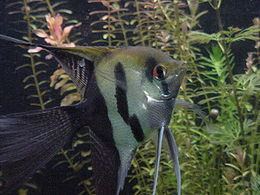 Melek balığı (Pterophyllum scalare)