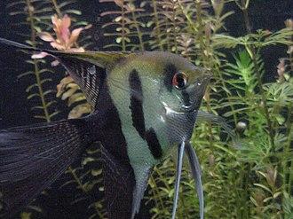 Pterophyllum - Halfblack veil angelfish - P. scalare