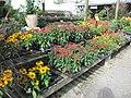 Packs of autumn bedding plants (6163938957).jpg